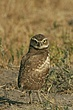 Owl-Burrowing-032-FJBergquist.jpg