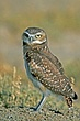 Owl-Burrowing-035-FJBergquist.jpg