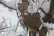 Owl-Great-horned-003-FJBergquist.jpg