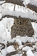 Owl-Great-horned-005-FJBergquist.jpg