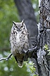 Owl-Great-horned-012-FJBergquist.jpg