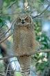 Owl-Great-horned-029-FJBergquist.jpg