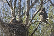 Owl-Great-horned-030-FJBergquist.jpg