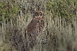 Owl-Short-eared-007-FJBergquist.jpg