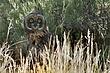 Owl-Short-eared-010-FJBergquist.jpg