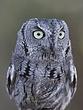 Owl.-Western-Screech-002-FJBergquist.jpg