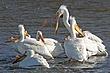 Pelican-American-white-001-FJBergquist.jpg