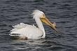 Pelican-American-white-009-FJBergquist.jpg