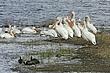 Pelican-American-white-023-FJBergquist.jpg