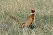 Pheasant-Ring-necked-004-FJBergquist.jpg