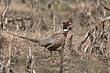 Pheasant-Ring-necked-008-FJBergquist.jpg