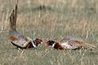 Pheasant-Ring-necked-013-FJBergquist.jpg