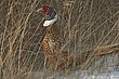 Pheasant-Ring-necked-018-FJBergquist.jpg