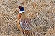 Pheasant-Ring-necked-021-FJBergquist.jpg