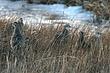Pheasant-Ring-necked-023-FJBergquist.jpg