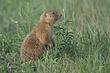 Prairie-Dog-Black-tailed-001-FJBergquist.jpg