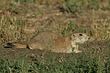 Prairie-Dog-Black-tailed-009-FJBergquist.jpg
