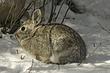 Rabbit-Cottontail-002-FJBergquist.jpg