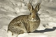 Rabbit-Cottontail-003-FJBergquist.jpg