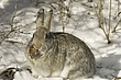 Rabbit-Cottontail-004-FJBergquist.jpg