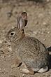 Rabbit-Cottontail-006-FJBergquist.jpg