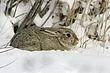 Rabbit-Cottontail-008-FJBergquist.jpg