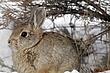 Rabbit-Cottontail-011-FJBergquist.jpg
