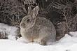 Rabbit-Cottontail-014-FJBergquist.jpg