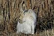 Rabbit-White-tailed-Jack-001-FJBergquist.jpg