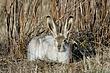 Rabbit-White-tailed-Jack-002-FJBergquist.jpg
