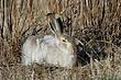 Rabbit-White-tailed-Jack-003-FJBergquist.jpg