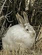 Rabbit-White-tailed-Jack-007-FJBergquist.jpg