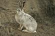 Rabbit-White-tailed-Jack-008-FJBergquist.jpg