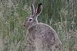 Rabbit-White-tailed-Jack-012-FJBergquist.jpg