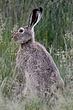 Rabbit-White-tailed-Jack-013-FJBergquist.jpg