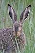 Rabbit-White-tailed-Jack-014-FJBergquist.jpg