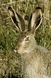 Rabbit-White-tailed-Jack-017-FJBergquist.jpg
