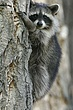 Raccoon-Northern-001-FJBergquist.jpg