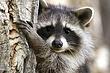 Raccoon-Northern-002-FJBergquist.jpg