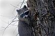 Raccoon-Northern-003-FJBergquist.jpg