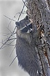 Raccoon-Northern-004-FJBergquist.jpg
