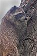 Raccoon-Northern-005-FJBergquist.jpg