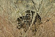 Raccoon-Northern-008-FJBergquist.jpg
