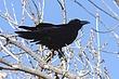 Raven-Common-02-FJBergquist.jpg