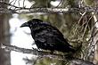 Raven-Common-03-FJBergquist.jpg