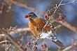 Robin-American-016-FJBergquist.jpg