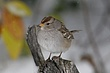 SPARROW WHITE-CROWNED-035-FJBergquist.jpg