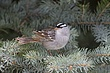 SPARROW WHITE-CROWNED-040-FJBergquist.jpg