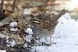 SPARROWWHITE-THROATED-029-FJBergquist.jpg