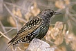 STARLING EUROPEAN-010-FJBergquist.jpg